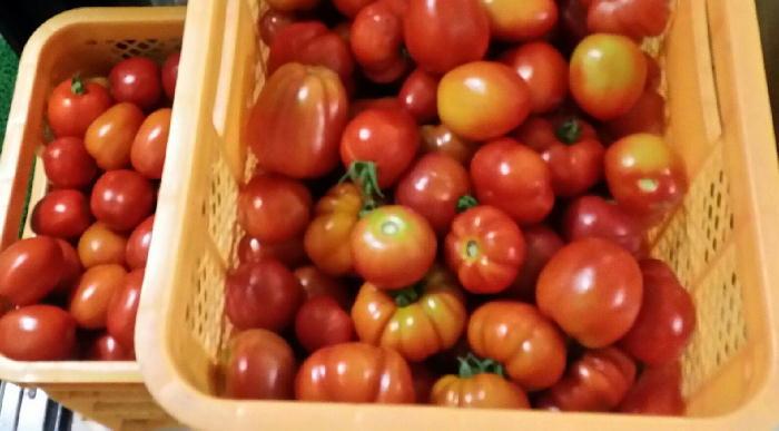tomato01111